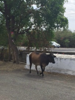 Cow roaming street in India